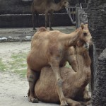 Camels enjoying their day at Taipei Zoo.