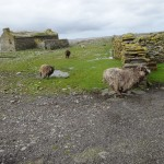 Unique kelp-eating sheep race about North Ronaldsay